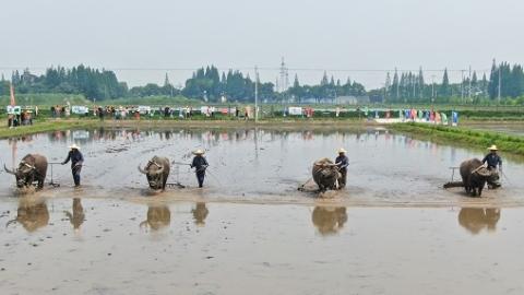 手工插秧 老牛耕地 手工有机稻米在崇明开耕