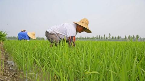 """今年,松江泖港的金色稻谷率先完成""""绿色""""认证"""