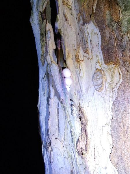 壁虎将蛋产在树皮中间 谢臻阳 摄.jpg