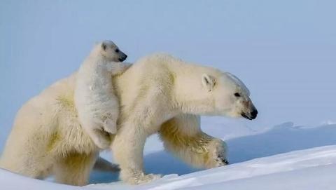 旅摄视角   穿越巴芬岛 探寻北极熊