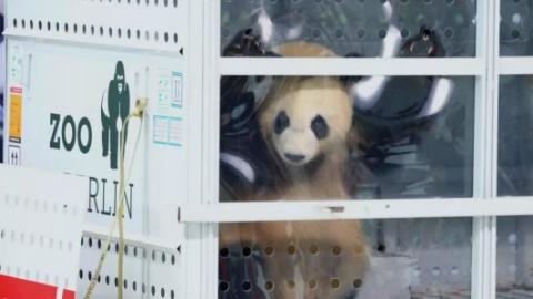"""""""梦梦""""怀孕""""好好""""产仔儿,旅欧大熊猫进入高产期"""
