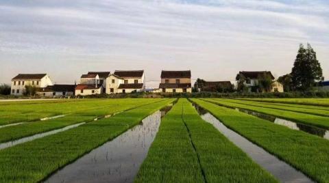 纯农业村如何实现乡村振兴?松江叶榭东石村琢磨出了这些办法......