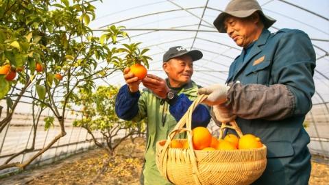 """松江精品柑橘""""红美人""""热销 一个可卖到五六十元"""