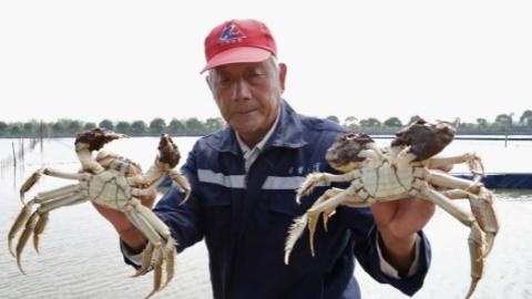 """一只螃蟹九两重,崇明""""乌小蟹""""摘帽变身极品大闸蟹"""