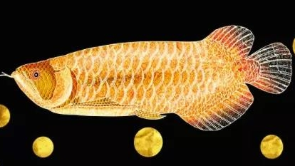 意大利华人养龙鱼遭起诉