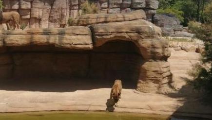 巴塞罗那动物园4头狮子曾感染新冠,已全部康复