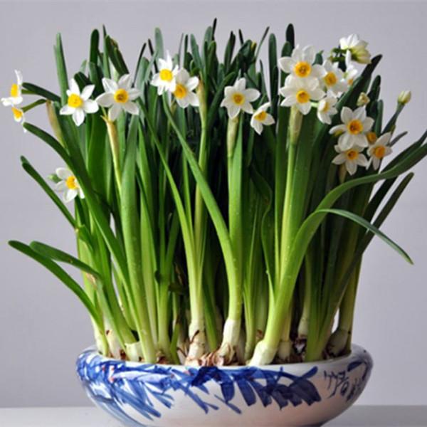 水仙花开了,春天依然会来