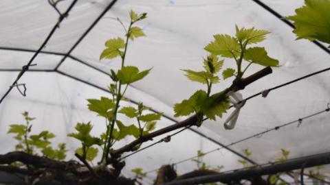马陆葡萄园基本未受疫情影响:蔬菜瓜果自给自足 春季管理稳扎稳打