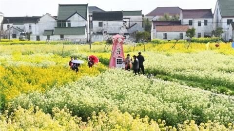 赏花走起!金山彩色油菜花盛放500亩 花田已到最佳观赏期