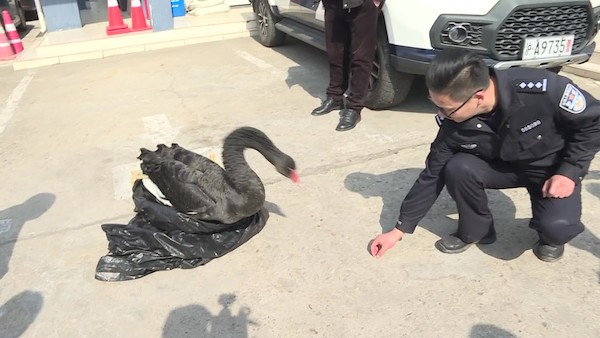 長江口來了一只黑天鵝 崇明民警悉心照料妥善處置