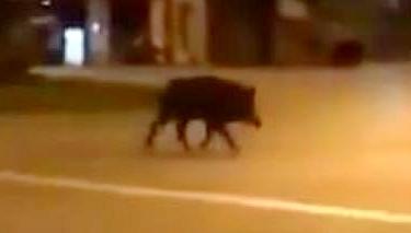 趁人少 野猪撒欢西班牙街头