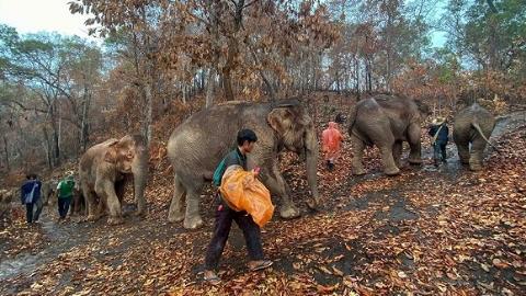 """泰国游客数量锐减 """"失业""""大象打道回府"""