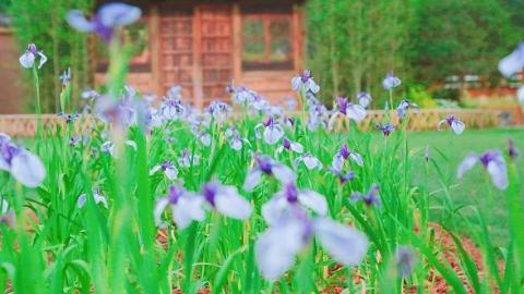 花菖蒲、木槿、花烛……谁才是最美花仙子? 上海植物园邀你赏夏季花展