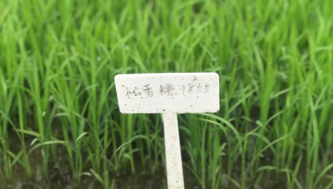 """米粒纤长,品质不减:松江大米家族将添""""新成员"""""""
