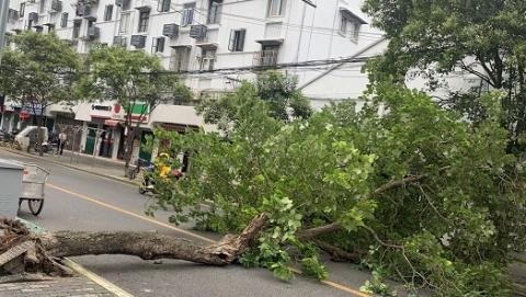 杭州路一行道树倒伏阻断交通
