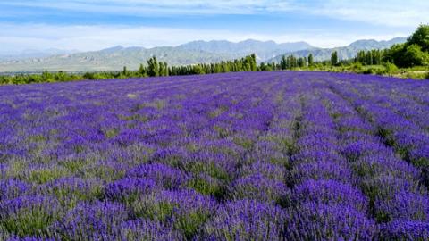 伊犁霍城弥漫紫色馨香