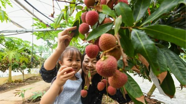"""@上海吃货们,荔枝也能现采现尝,""""南果北移""""落沪的还有这些热带水果!"""