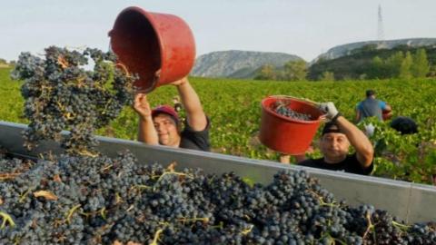 法国投八千万欧元支持葡萄种植业