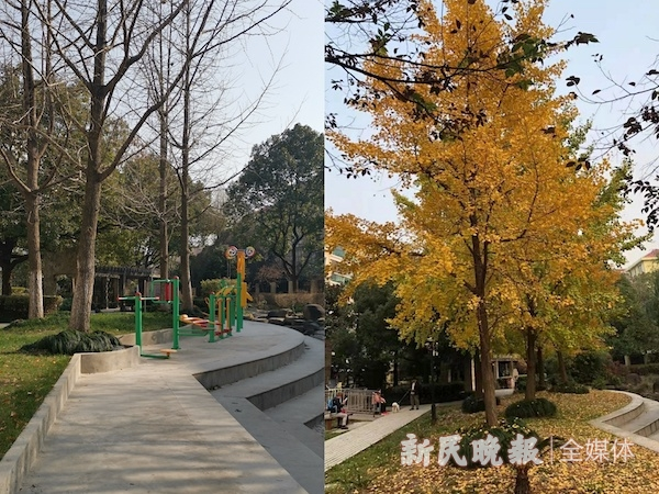 中心花园整改后银杏等被砍伐.jpg