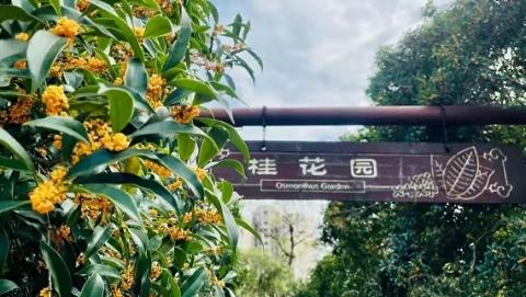 申城赏桂期将绵延大半月,桂花味可乐、咖啡、薯片、饼干纷纷上市