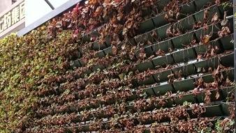 """""""盆栽墙""""上植物泛黄枯萎 市民呼吁尽快""""补种"""""""