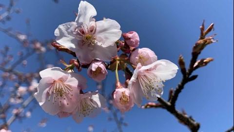 申城樱花盛开 这波早樱品种将绽放至三月初