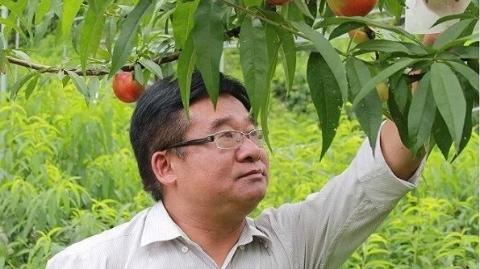 来自上海的小小黄桃 托起山里农民小康梦