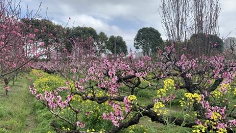 来桃花节不仅看桃花 !上海桃花节今天开幕