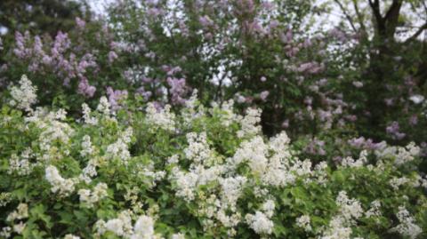 这个春天,在圆明园看古丁香、泛舟赏景
