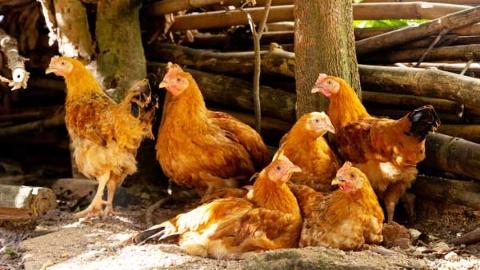 姚锡娟:在养鸡的那段日子里