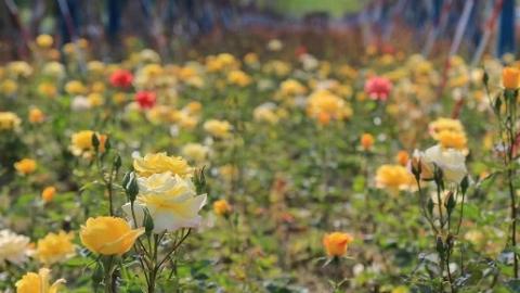 小长假去赏花!松江这个10万平方米的月季小镇迎来盛花期