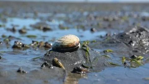 加拿大海滩的蛤蜊随便捡?罚单事小,小心中毒
