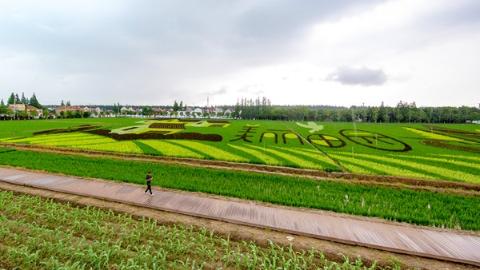 暑假,去浦东首个郊野公园看五彩水稻去!