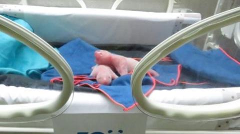旅西大熊猫在马德里动物园产下一对双胞胎