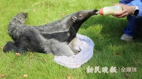 国内首例早产大食蚁兽宝宝人工育幼成活 今起亮相上海野生动物园