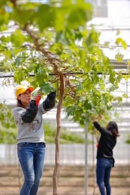 农二代张勤美回归乡村成为葡萄种植能手.jpg